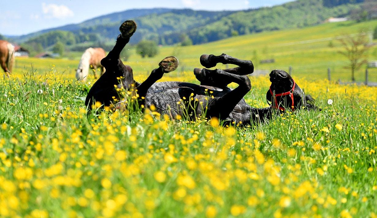 Ein entspanntes Pferd auf der Weide