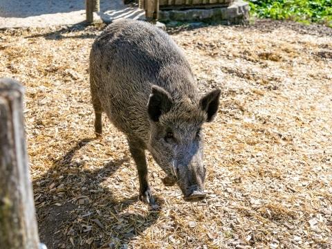 Wildschwein Basti