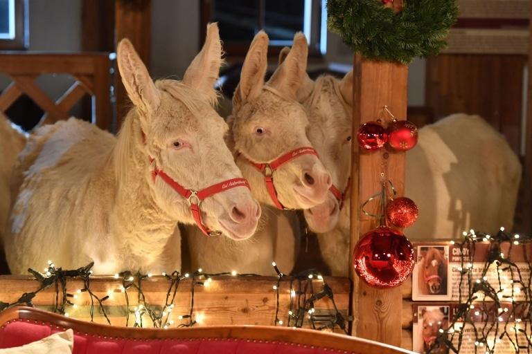 Unsere Barock-Esel freuen sich auf Weihnachten