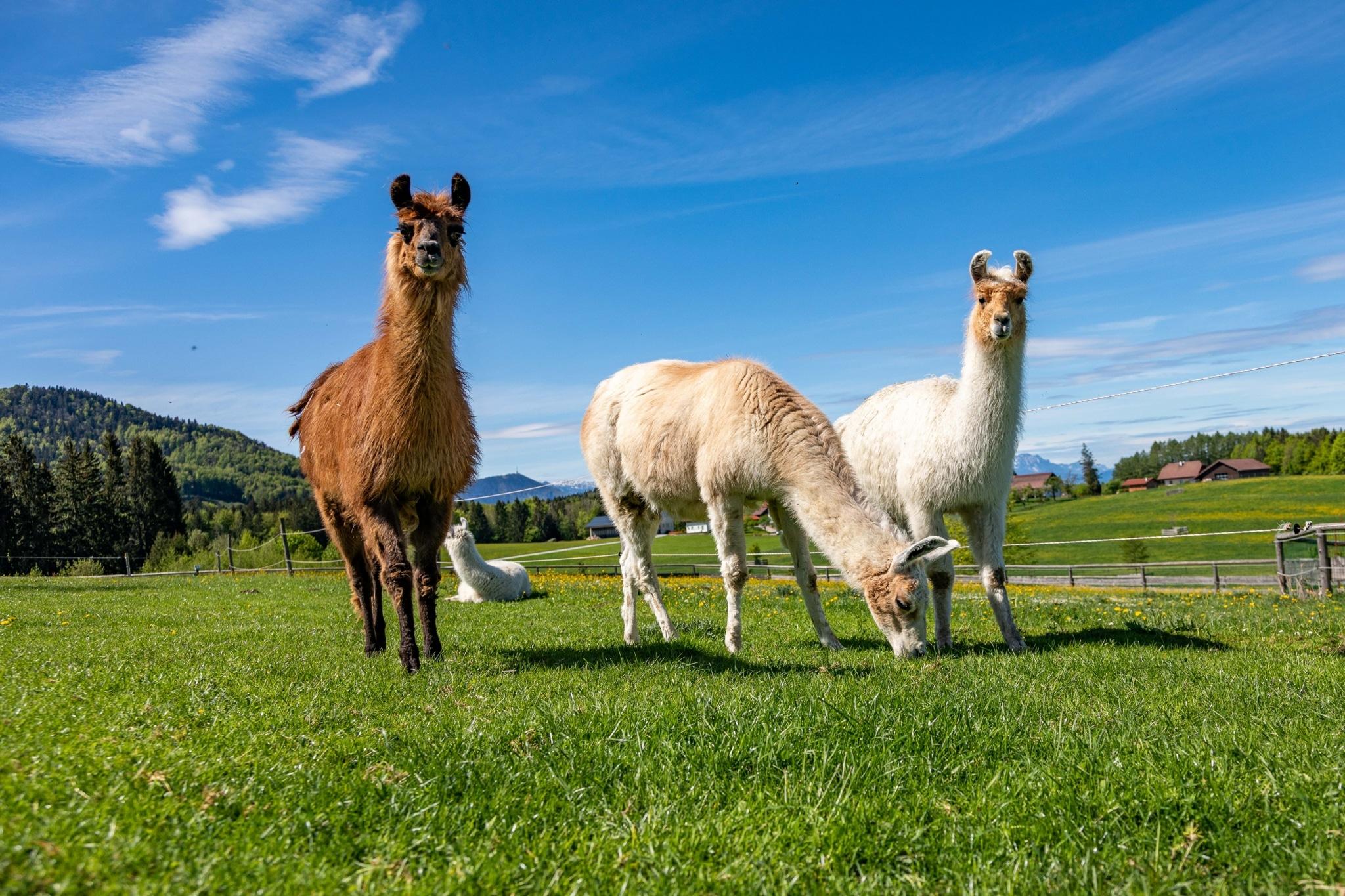 Unsere Lamas auf Gut Aiderbichl Henndorf
