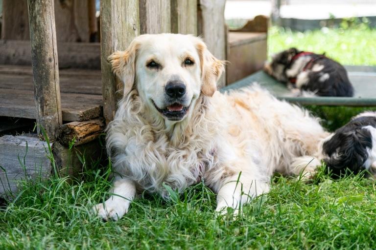 Hund Buddy