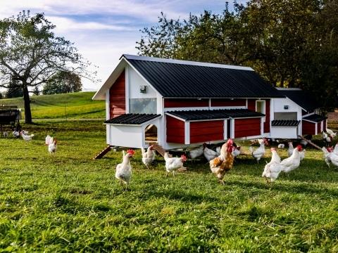 Unsere geretteten Bio Hühner in ihrem neuen Zuhause