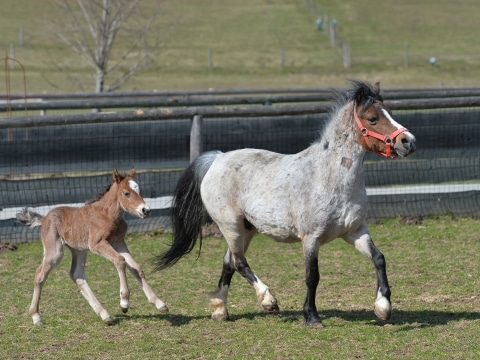 Pony-Stute Laurel mit ihrem Kind La Vivi