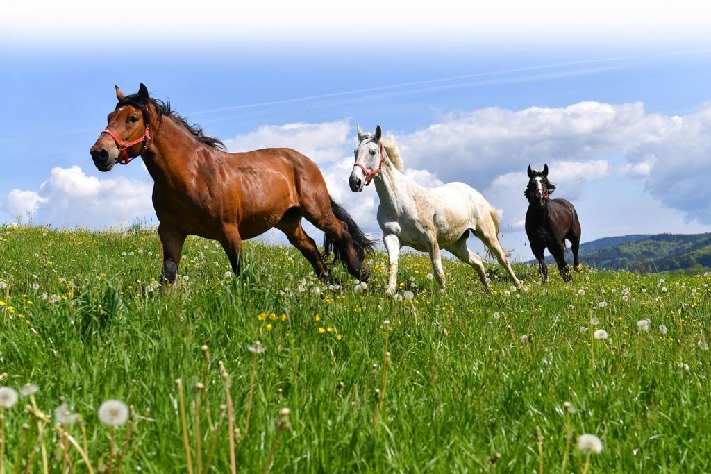 Pferde auf der Weide in Henndorf