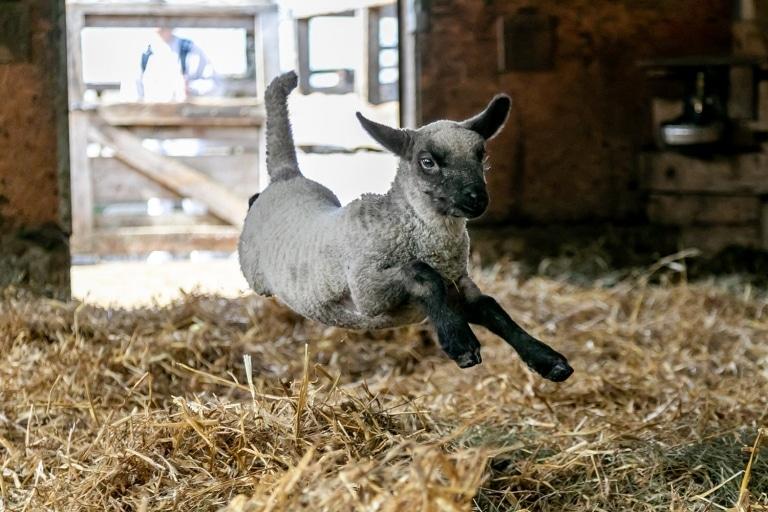 Unser Lamm Larry springt wie ein Kätzchen