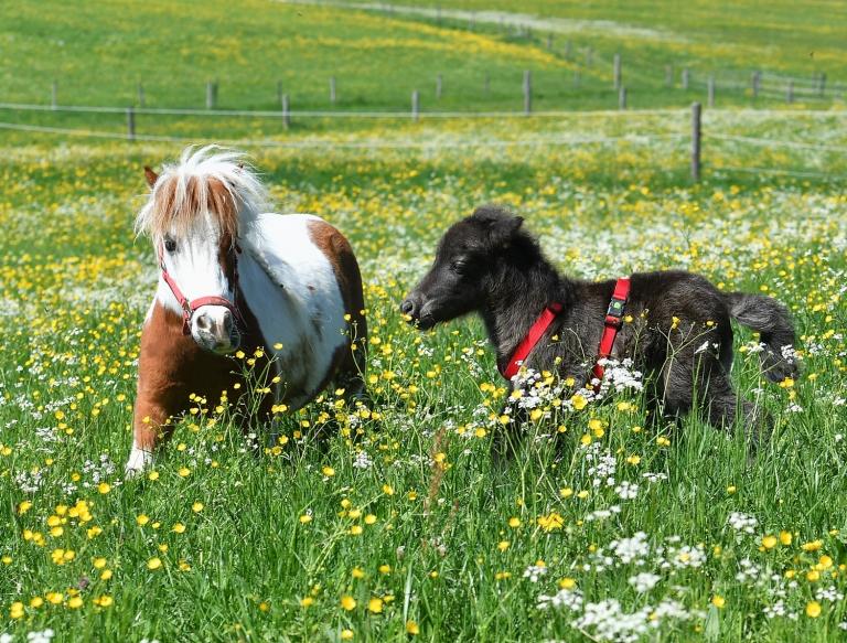 Zieh-Papa Bubi mit Pony Chris auf der Weide
