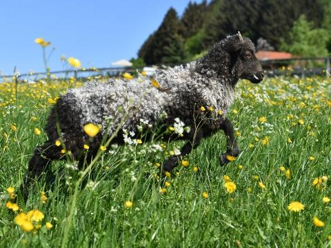 Der erste Weidegang unserer Schafe