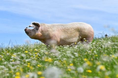 Unsere Schweine lieben die Blumenwiese auf Gut Aiderbichl Henndorf
