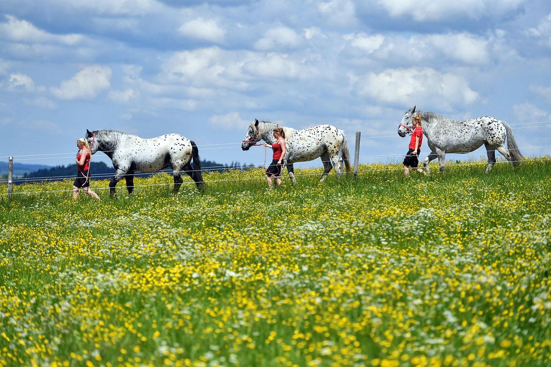 Unsere Tierpfleger begleiten die Pferde auf die Weide