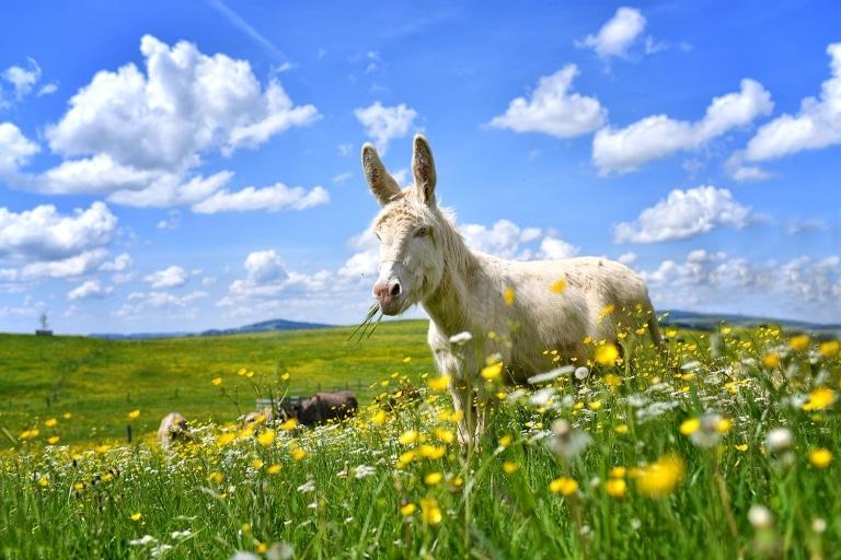 Esel Valentin genießt den Ausflug auf die Weide