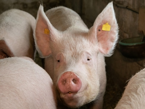 Unsere Schweine auf Gut Aiderbichl Kilb