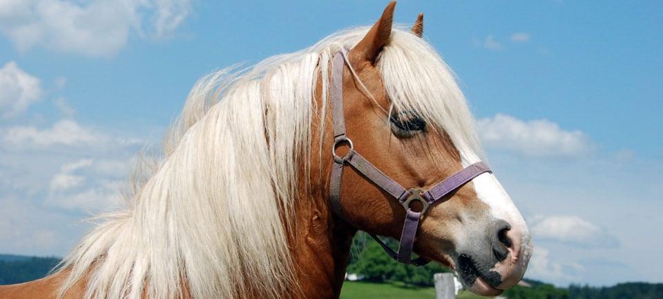 Norman war ein wunderschönes Pferd