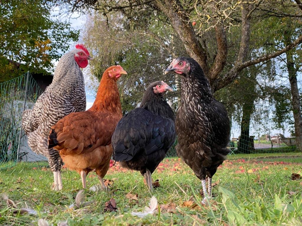 Hühner auf Gut Aiderbichl