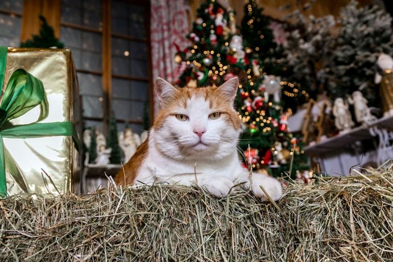 Der dicke Kater Paul freut sich jedes Jahr auf Weihnachten