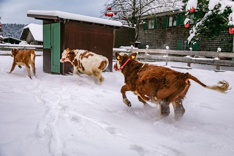 Nun haben sich die drei Mini-Kühe vereint und toben durch Gut Aiderbichl Deggendorf.