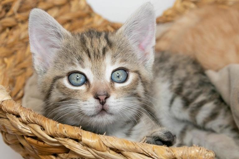 Katze Cinnamon