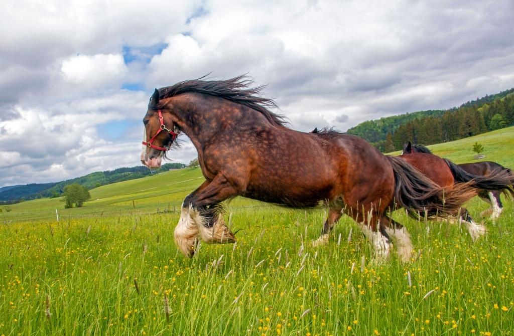 Shire Horse beim ersten Weidegang