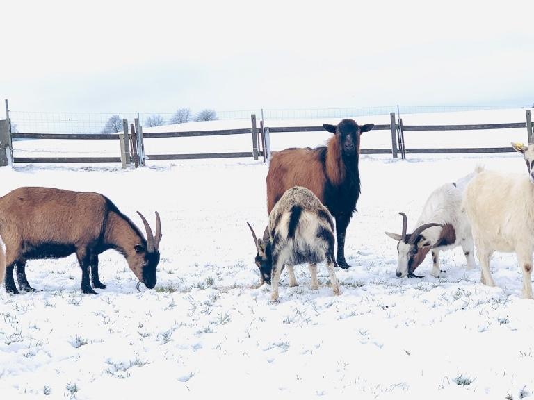 Ziegenbock Hermann hat sich in seiner neuen Herde toll eingelebt