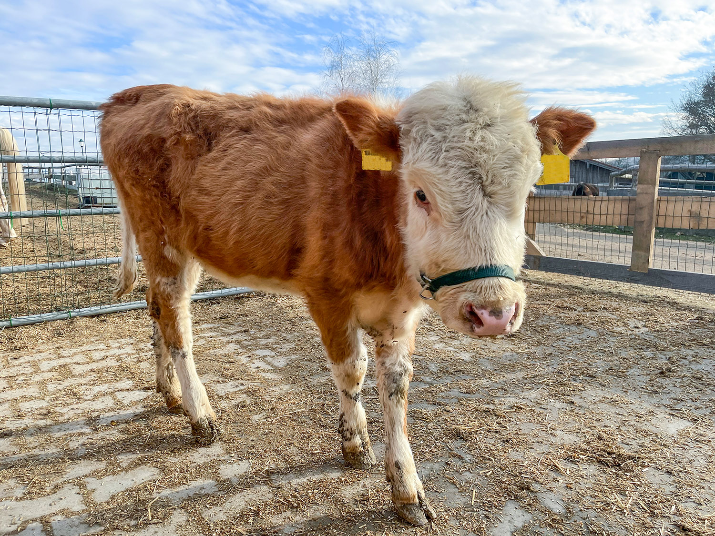 Bis auf ihre zu kurz geratene Körpergröße, ist sie eine ganz normale Kuh.