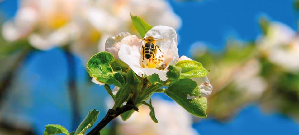 Biene sammelt fleißig Pollen