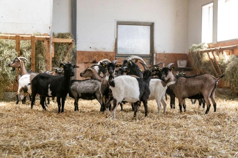 Unsere gerettete Ziegenbande nach ihrer Ankunft