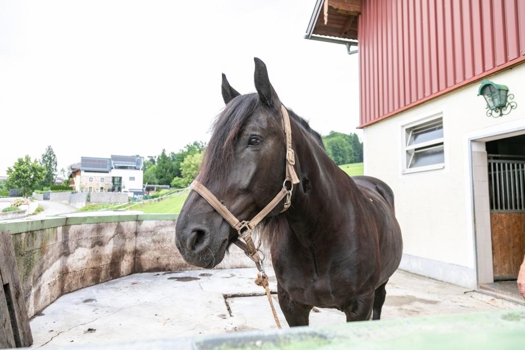 Noriker Peter hat viele Jahre als Kutschepferd gedient