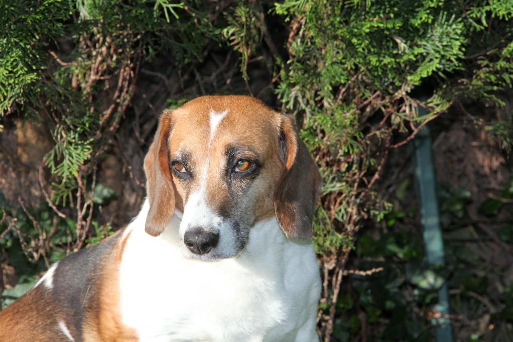 Beagle Daisy TK Sterbebegleitungs