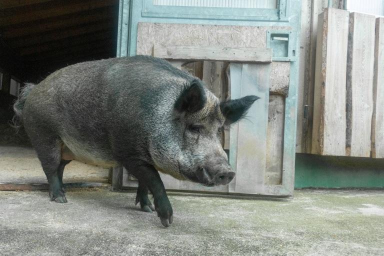 Schwein Emma in ihrer neuen Heimat