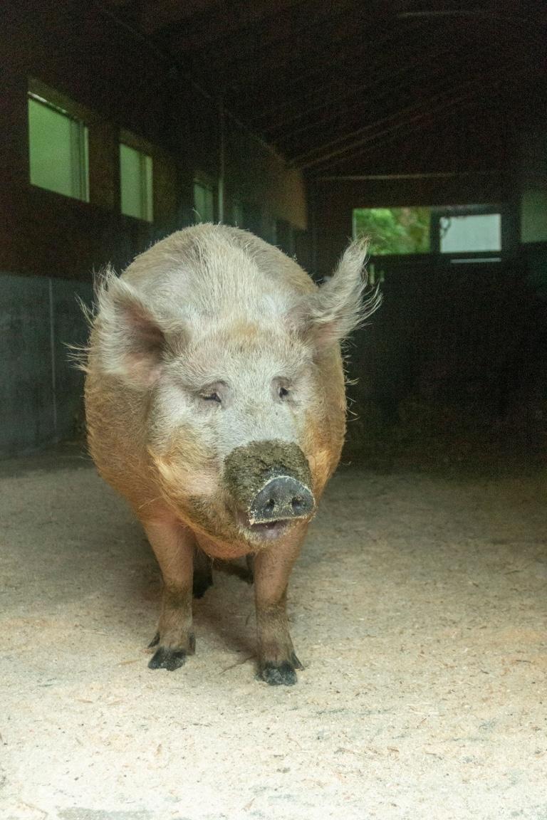 Schwein Berta in ihrer neuen Heimat