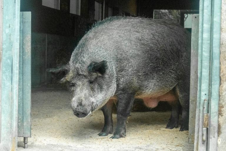 Schwein Carlo in seiner neuen Heimat