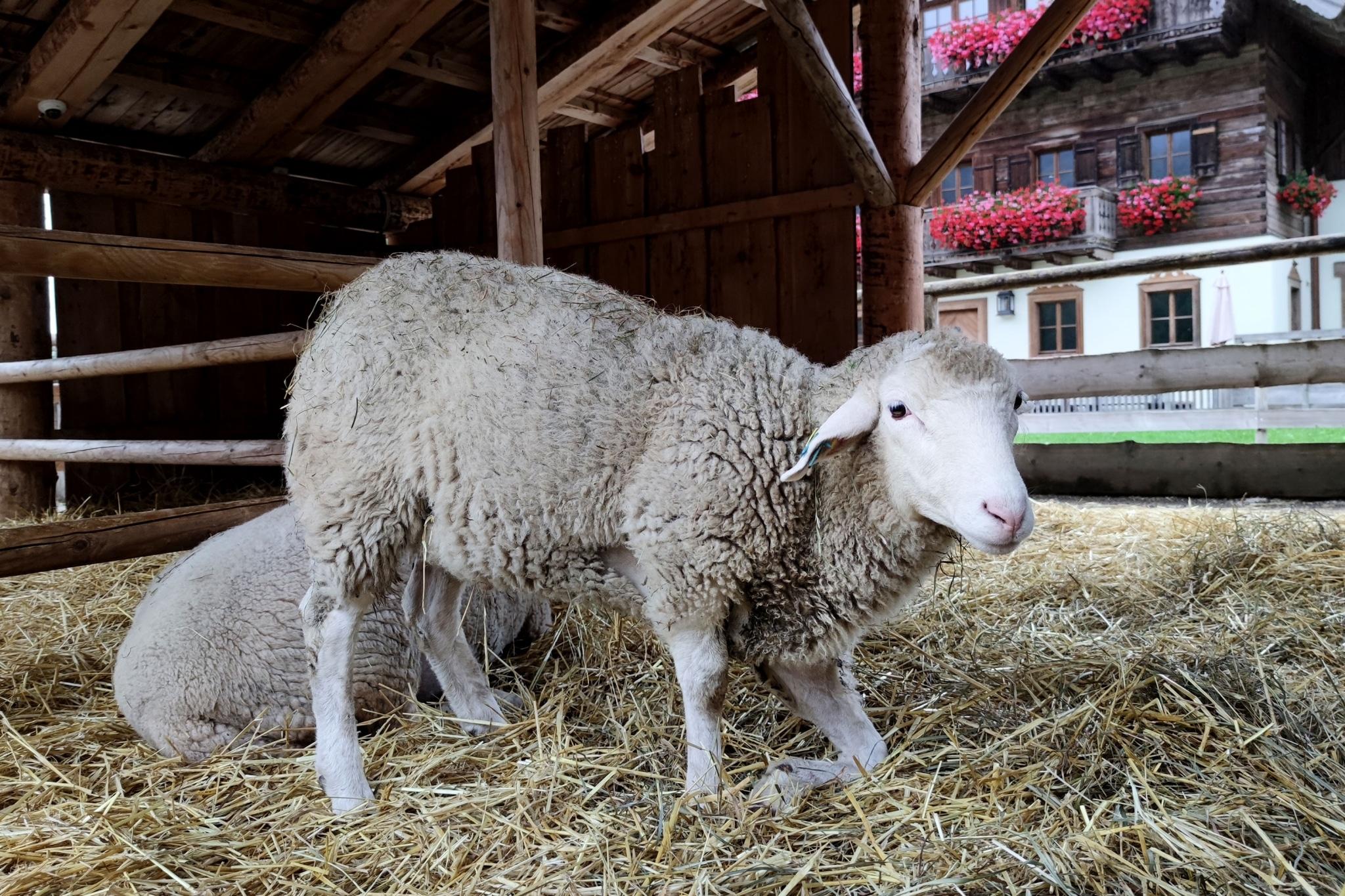 Hampti Damti - Das Schaf mit Handicap