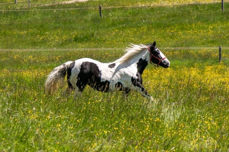 Tashiba auf der Weide