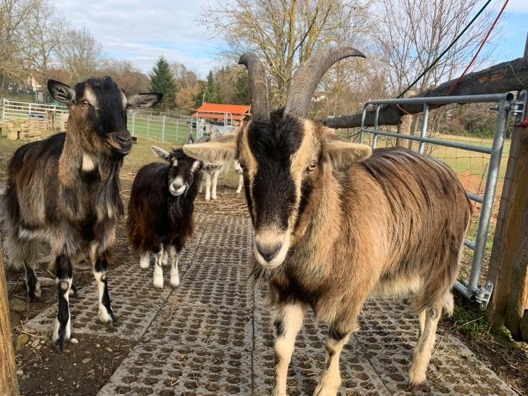 Nun ist Ziege Findus in seiner neuen Heimat auf Gut Aiderbichl Eslarn