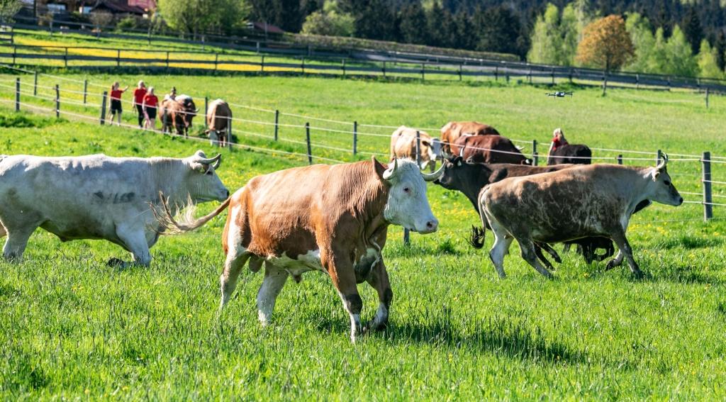 Die Rinder toben mit Nikolaus auf der Koppel
