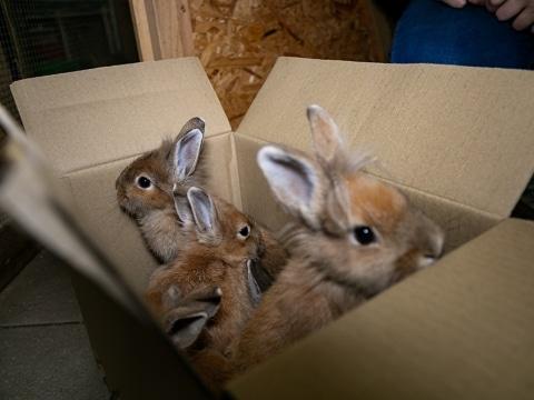 Die fünf ausgesetzten Kaninchen trauen sich nur zögerlich aus dem Karton