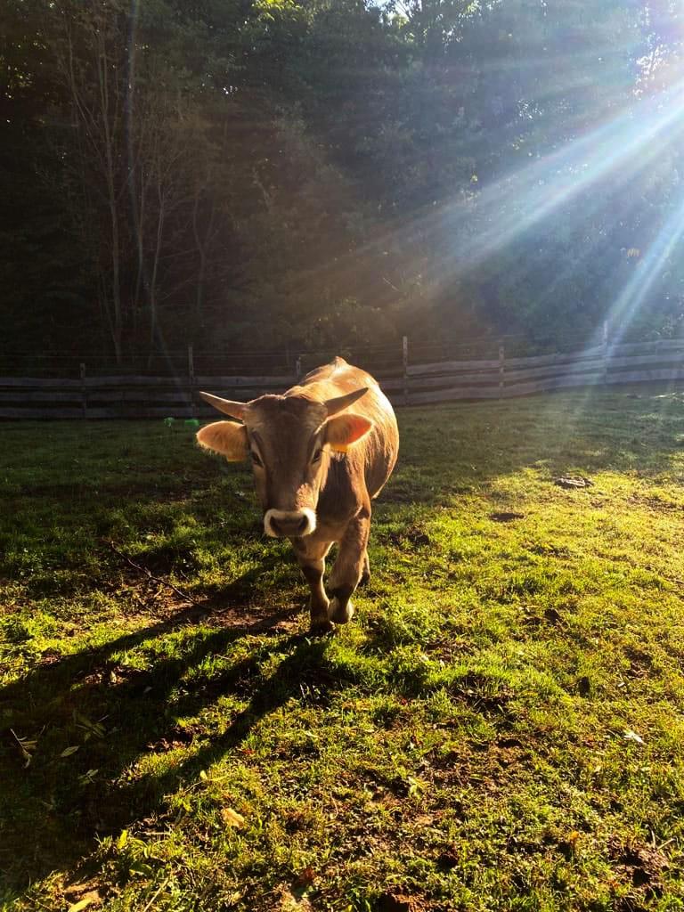 Stier Tony genießt die Sonne
