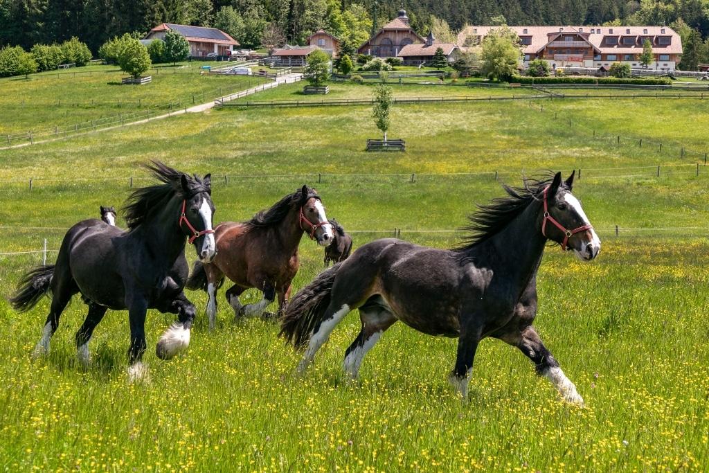 Unsere Shire Horses genießen ihr Leben