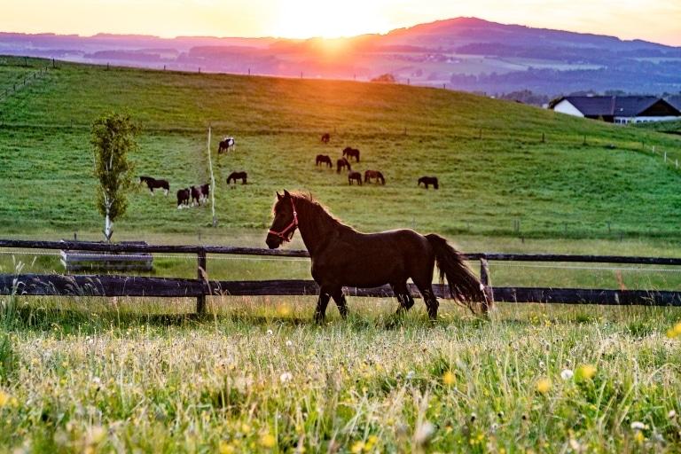 Bimbo auf der Weide bei Sonnenuntergang