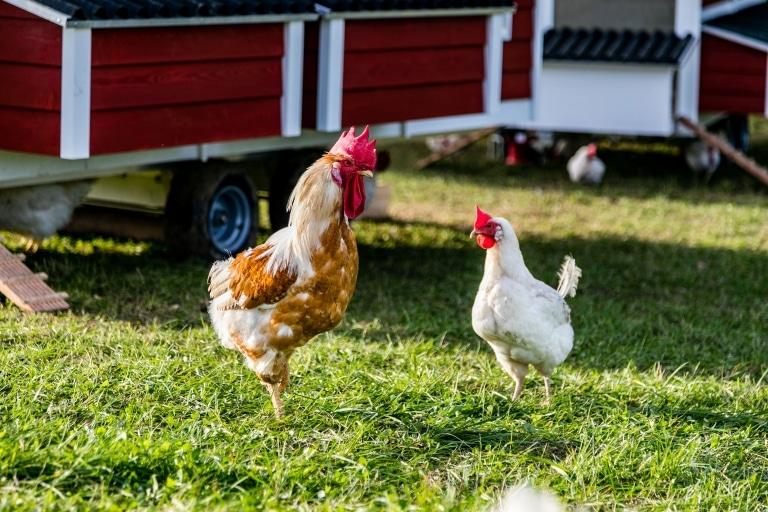 Gerettete Bio-Hühner nach ihrer Ankunft auf Gut Aiderbichl